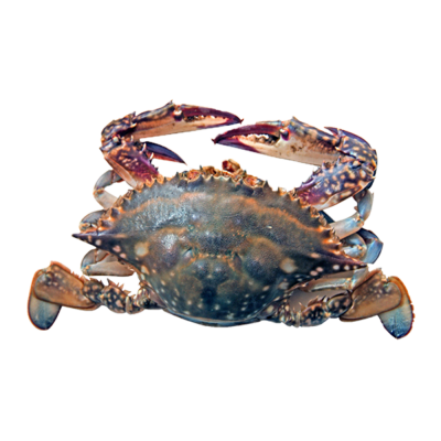 WHOLE SWIMMING CRAB